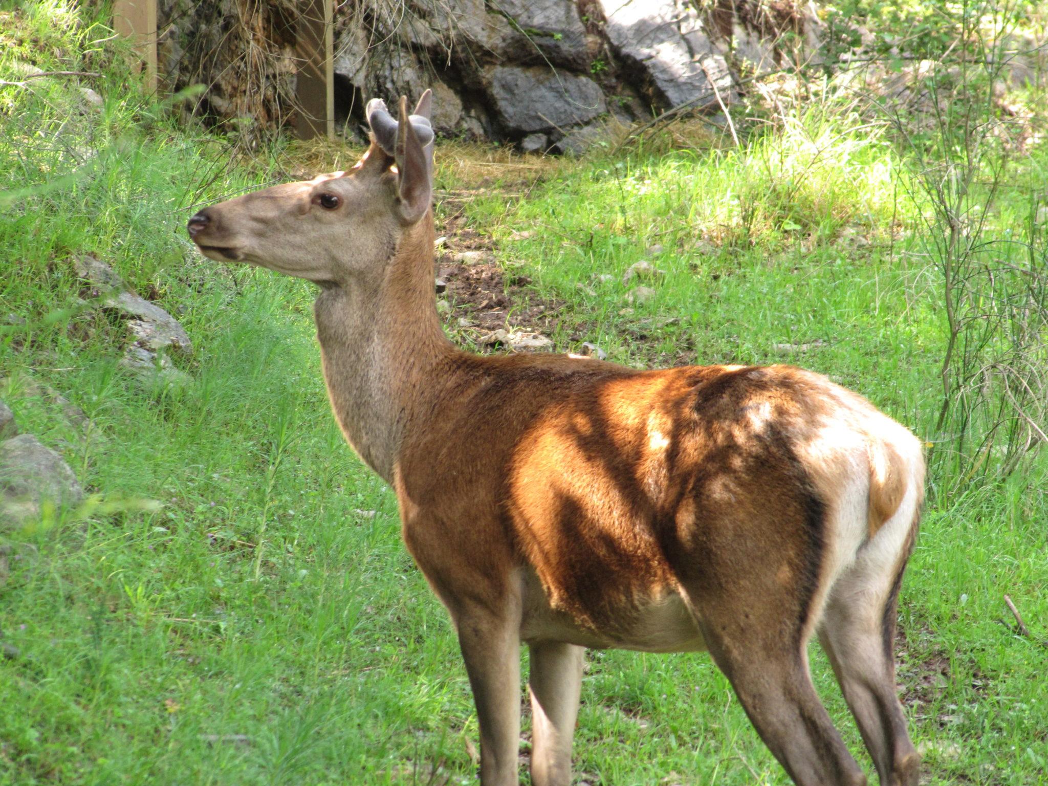 Cervo nel Parco Nazionale del Pollino